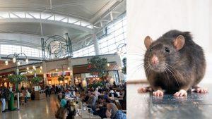 西塔機場建新樓惹鼠患 與餐飲店舖合作滅鼠
