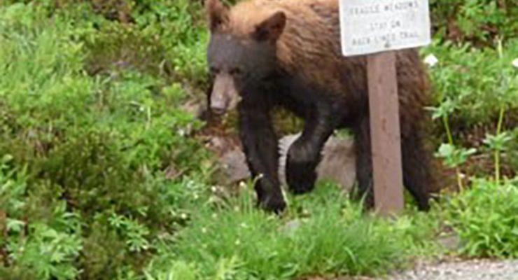 冬眠過後覓食季節開始 小心黑熊再現擾普捷灣民居