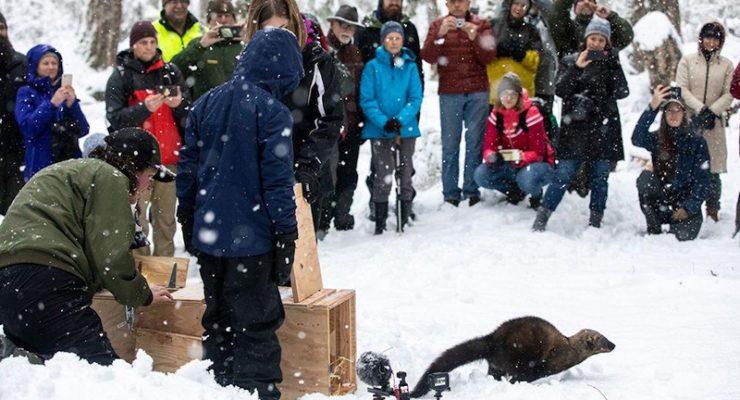 冰雪天華州雷尼爾山放生 四頭漁貂被送回歸大自然