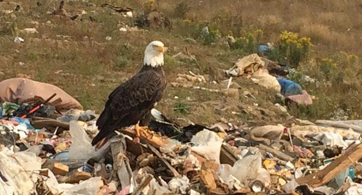 白頭鷹流連金郡堆填區覓食 政府考慮發放煙花驅趕